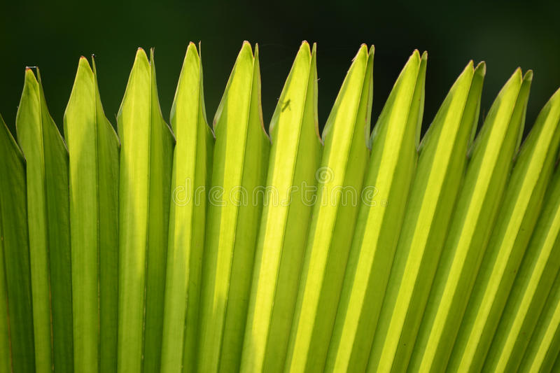 Sugar palm leaf. In angle pattern royalty free stock photo