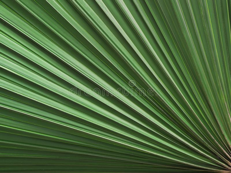 Sugar palm leaf. For background stock photo