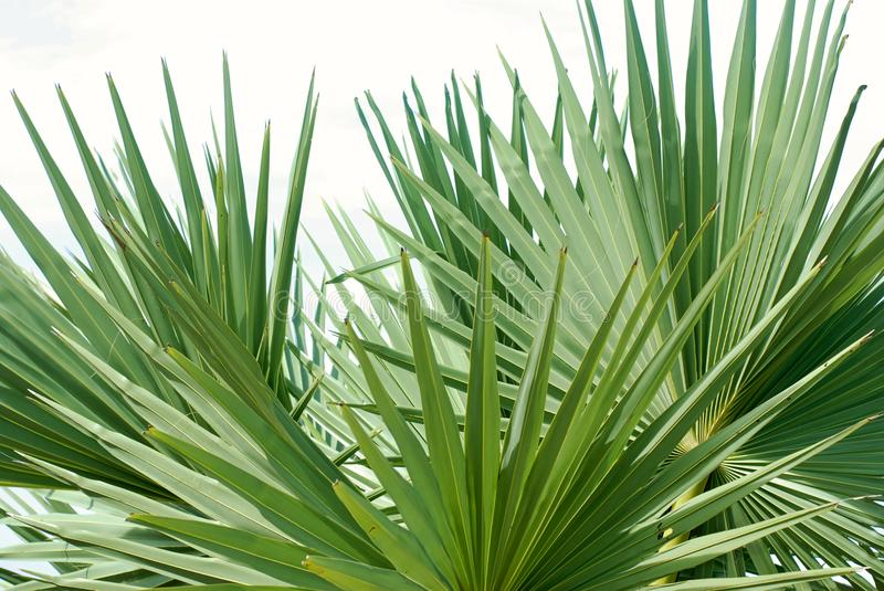 Sugar palm leaf, palm leaves. On white background stock photos