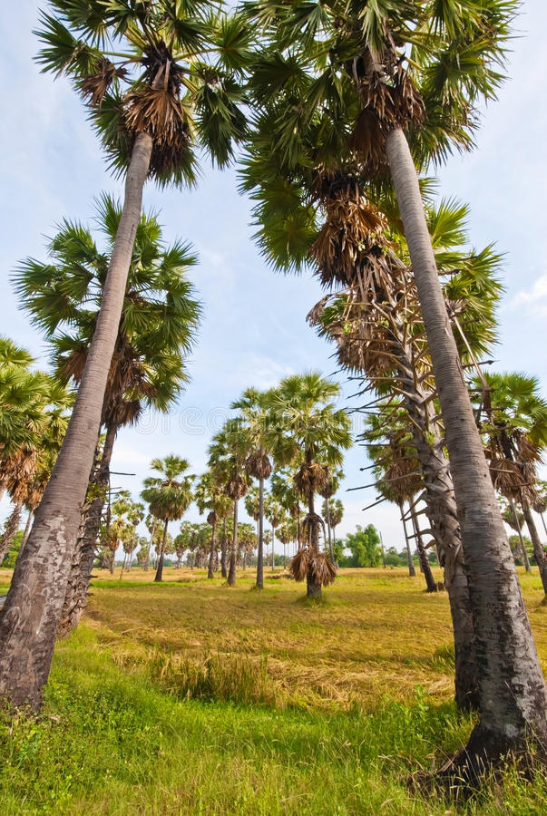 Download Sugar palm tree stock image. Image of nature, green, background - 28286957