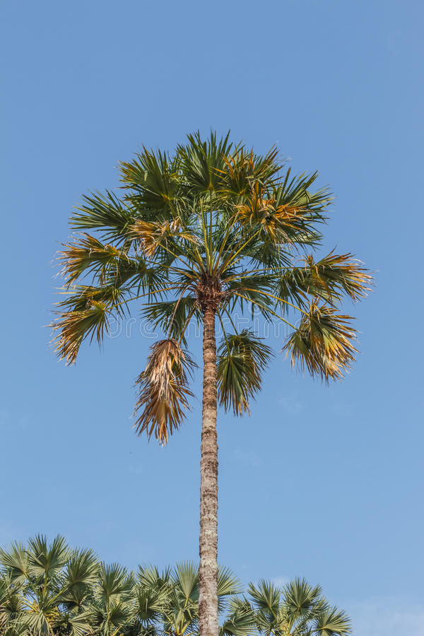 Sugar palm tree royalty free stock images