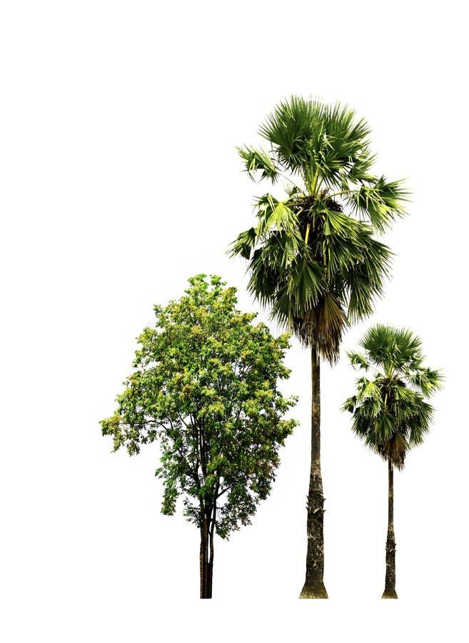 Sugar palm tree and Burma padauk tree isolated on white background. stock photography