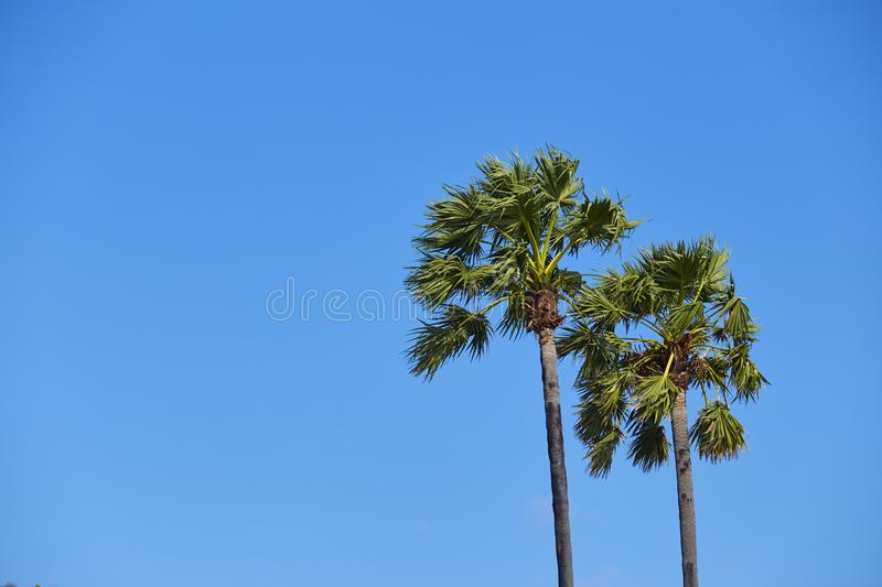 Sugar palm tree with clear sky royalty free stock images