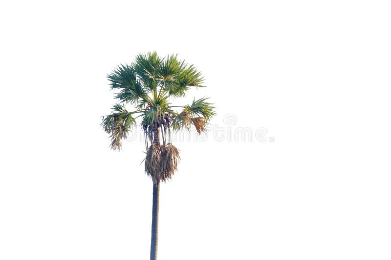 Sugar palm tree growing in a garden on white isolated background for green foliage backdrop. Plant leaves growing garden white isolated background green foliage royalty free stock photos