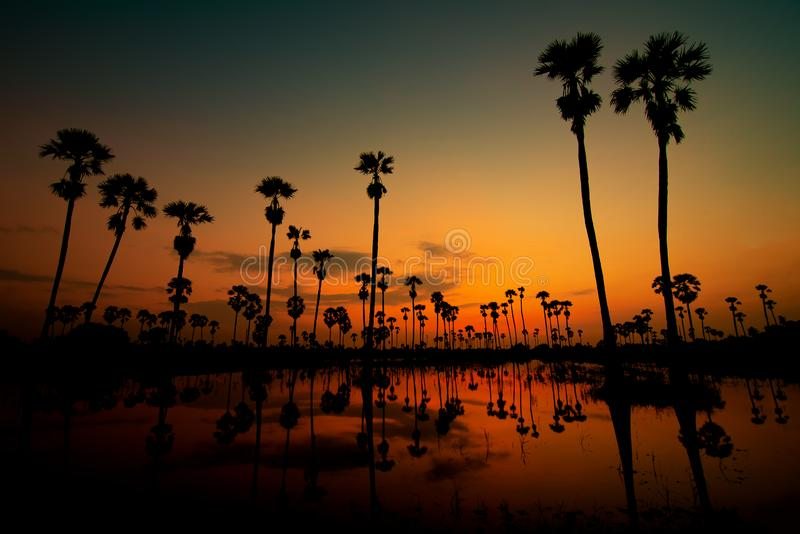 Sugar palm tree at morning sunset in asia Thailand. Sugar palm tree at morning sunset in Thailand stock photo