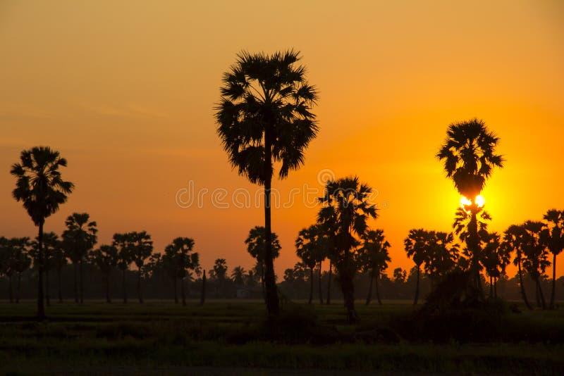 Sugar Palm Tree och grönskarisfält på orange himmel royaltyfri bild