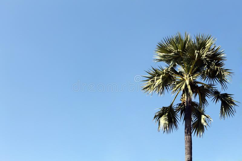 Sugar palm trees on blue sky background royalty free stock images