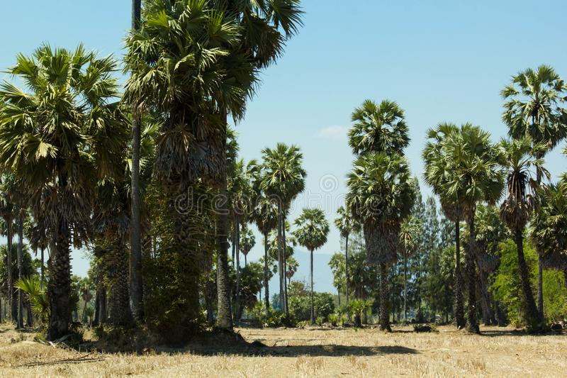 Sugar palm trees at filed on natural. Sugar palm trees at field rice after harvest stock images
