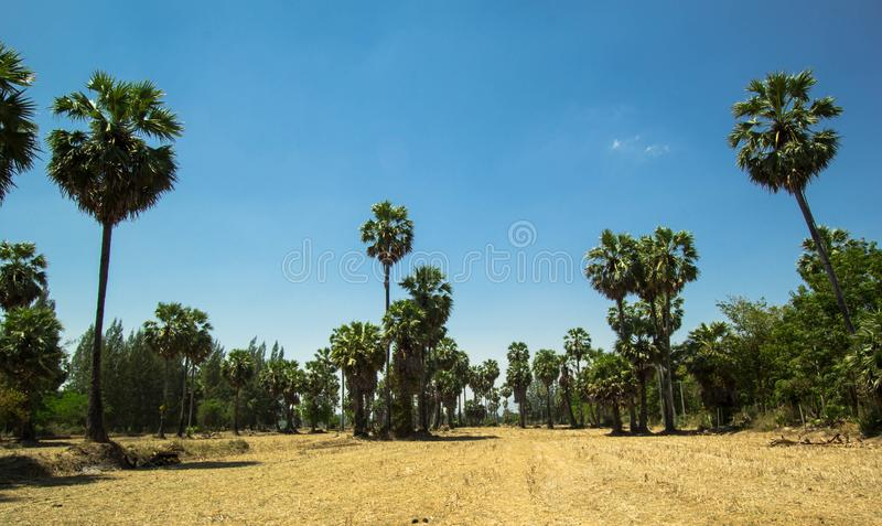 Sugar palm trees at filed on natural. Sugar palm trees at field rice after harvest royalty free stock images
