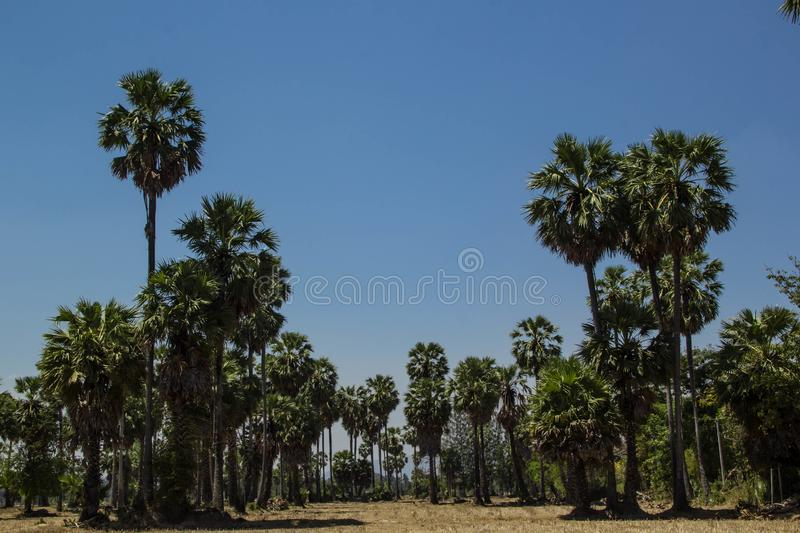 Sugar palm trees at filed on natural. Sugar palm trees at field rice after harvest stock photos