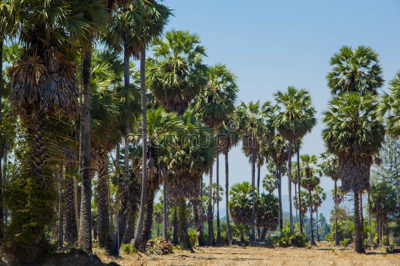 Sugar palm trees at filed on natural. Sugar palm trees at field rice after harvest stock photography