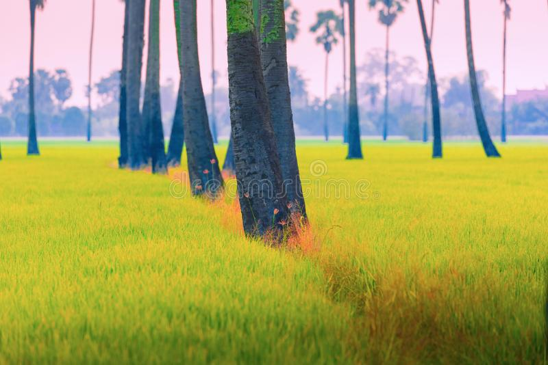 Sugar palm trees in rice field at sunrise in the morning.  royalty free stock images