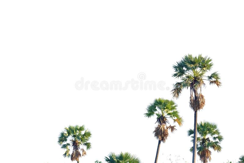 Sugar palm trees on white isolated background for green foliage backdrop stock images