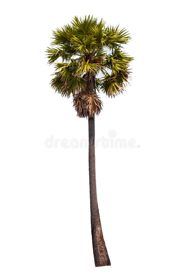 Sugar palm. On white background stock photos
