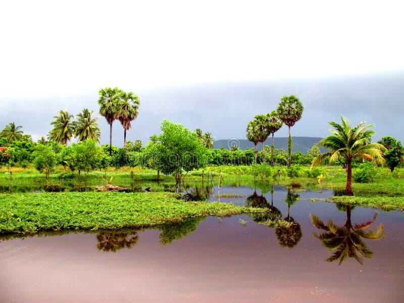 Sugar palms stock images