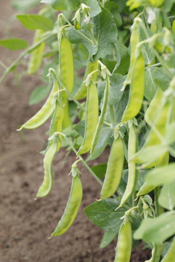 Sugar peas royalty free stock image