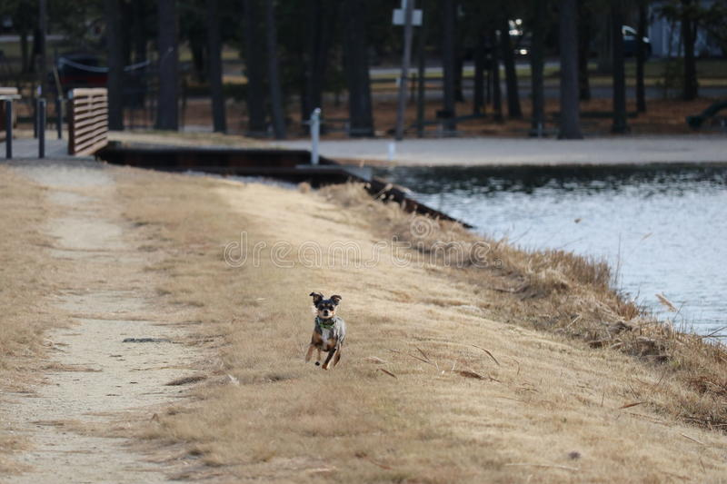 Sugar puppy on the run. Our pet miniature Australian Sheppard running at the lake royalty free stock photos