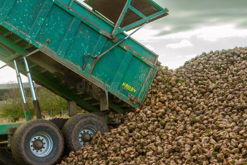 Sugarbeet żniwo w toku - przyczep rozładunkowi sugarbeets fotografia stock