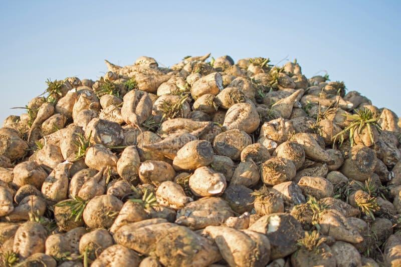 Sugarbeet Przeciw niebieskiemu niebu Stos Sugarbeet przy polem Po żniwa obrazy stock