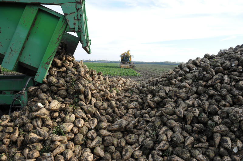 Sugarbeets stock images