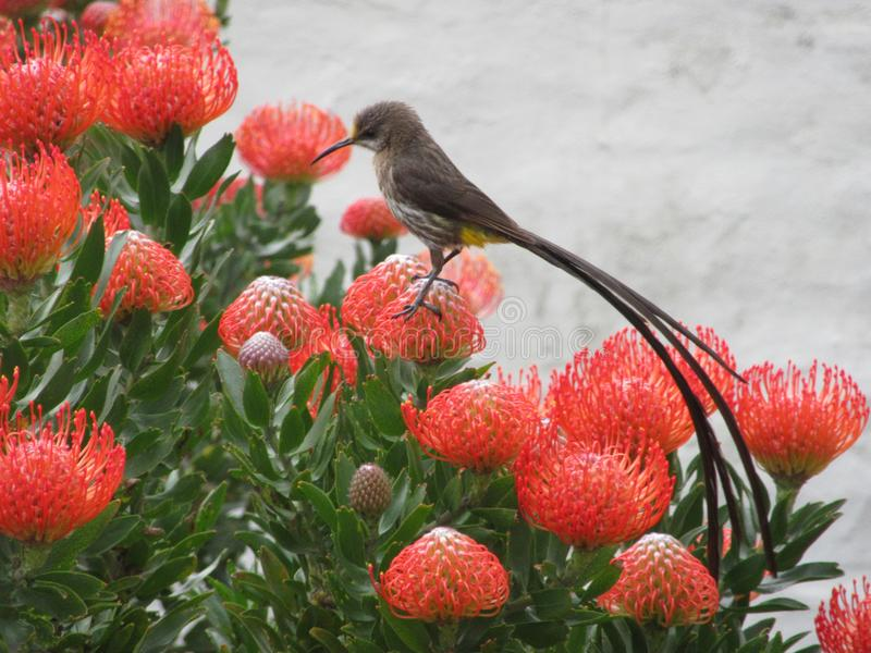 Wildlife - Sugarbird in SouthAfrica. Sugarbird arrives in Spring to feast on the nectar of the Proteas - Wester Cape SouthAfrica royalty free stock images