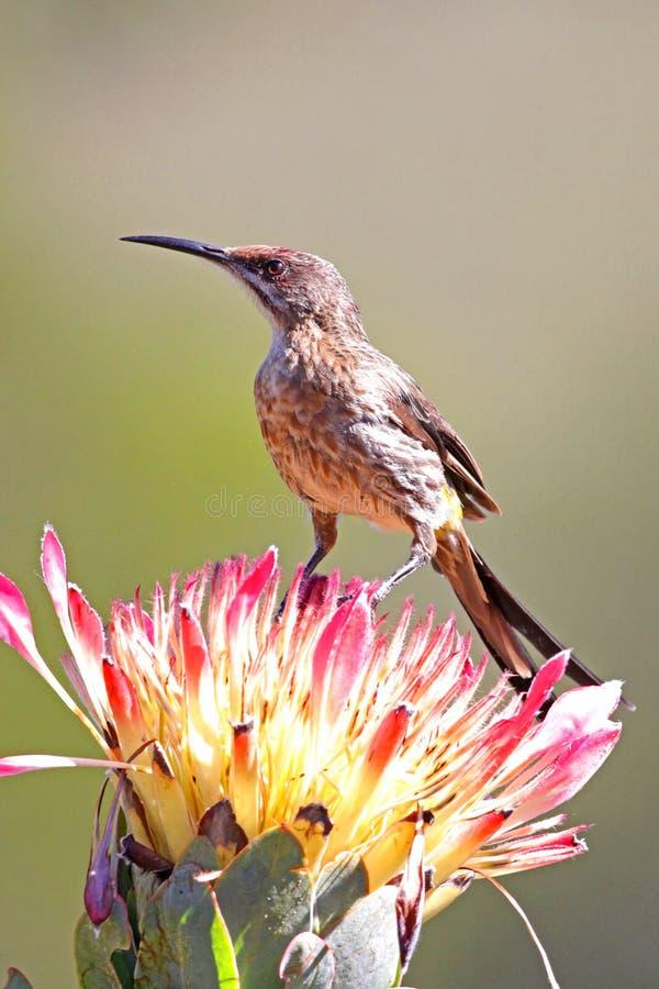 Sugarbird sur le Protea image stock