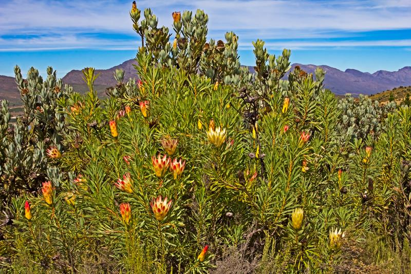 Protea bush with flowers stock image
