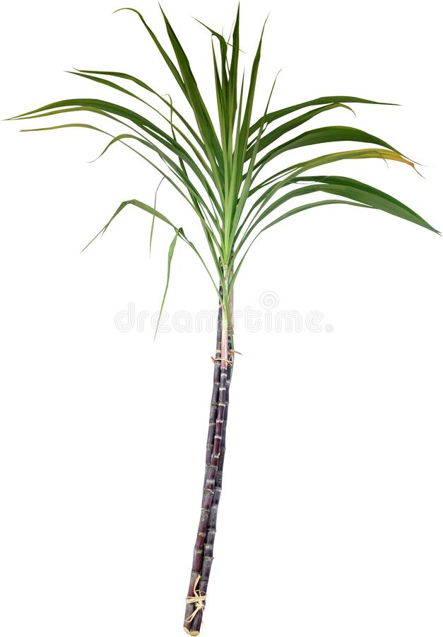 Sugarcan obraz royalty free