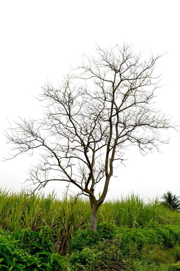Sugarcan pole obrazy royalty free