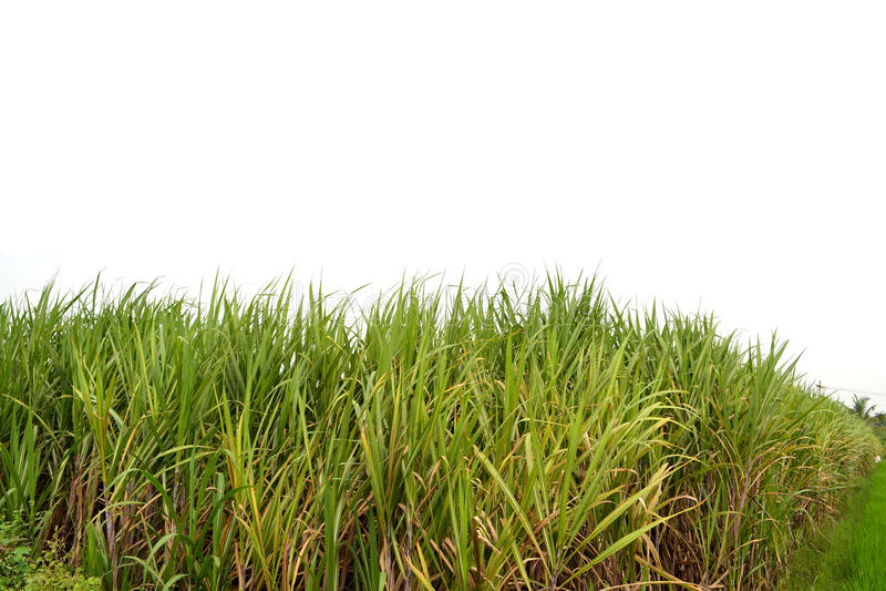 Sugarcan pole zdjęcia stock