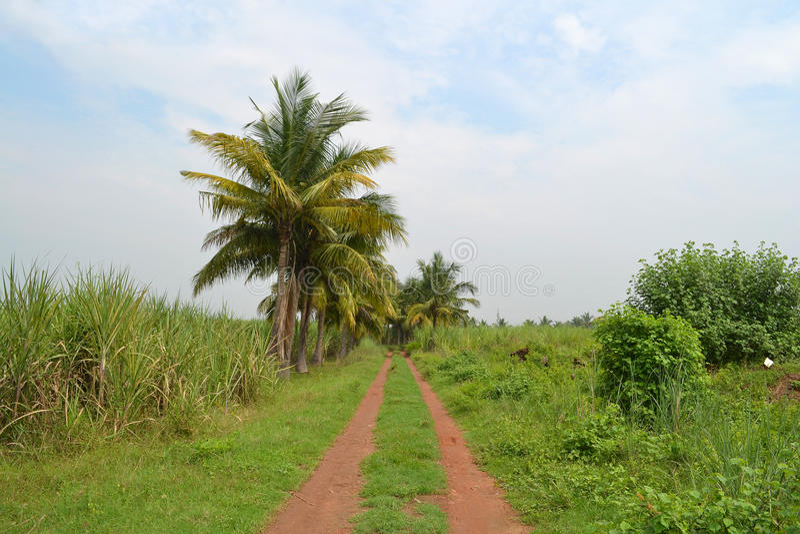 Sugarcan pole obrazy stock