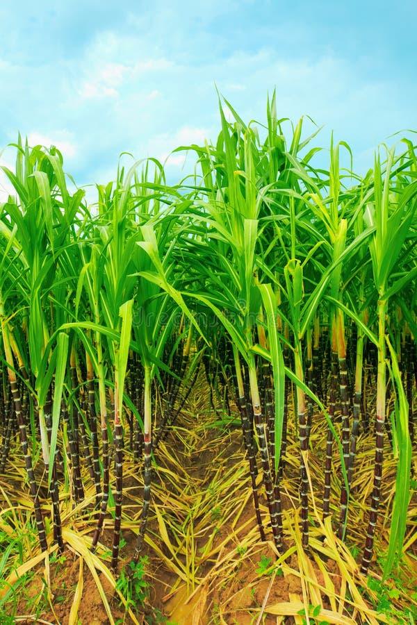 Sugarcane fotografia de stock