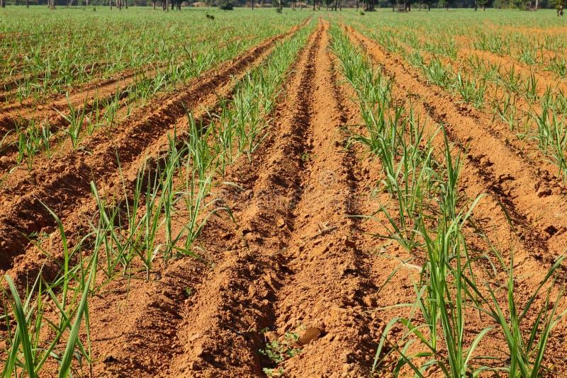 Download Sugarcane Stock Image - Image: 17685611