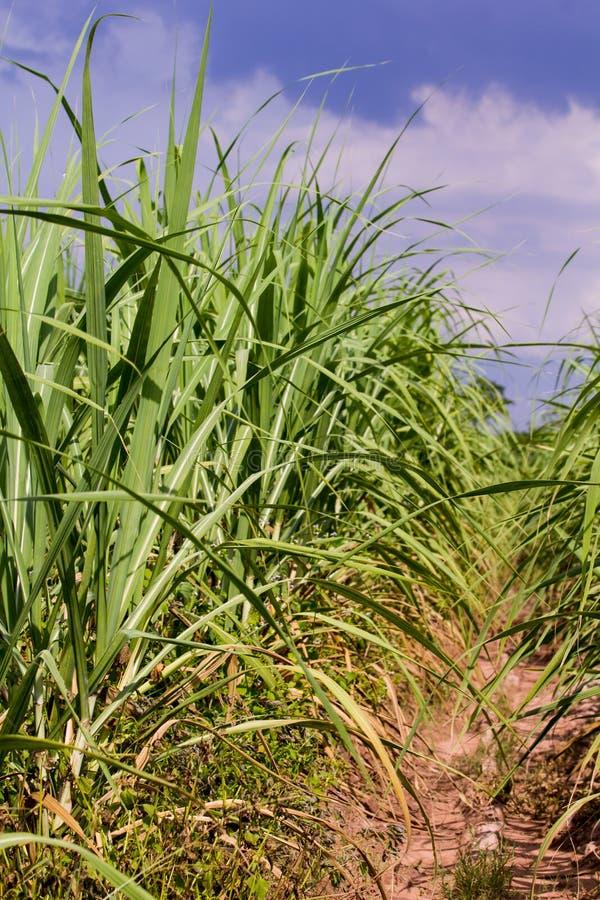sugarcane zdjęcia royalty free