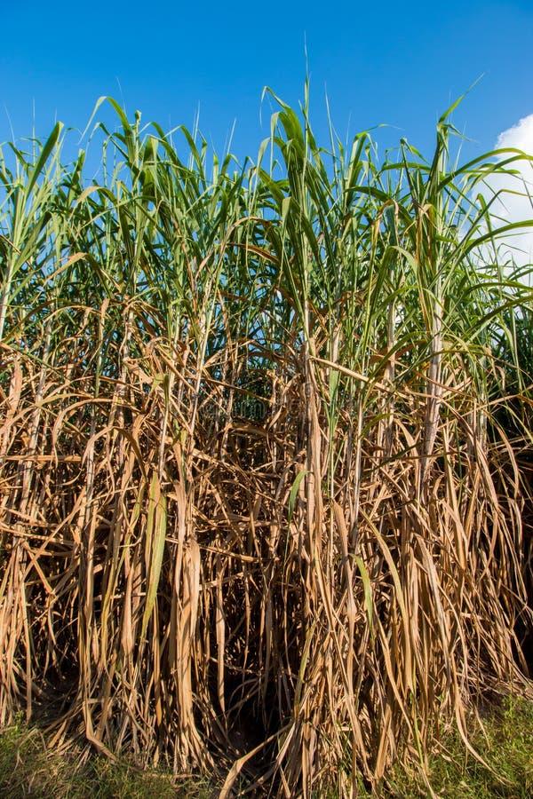 sugarcane fotografia stock