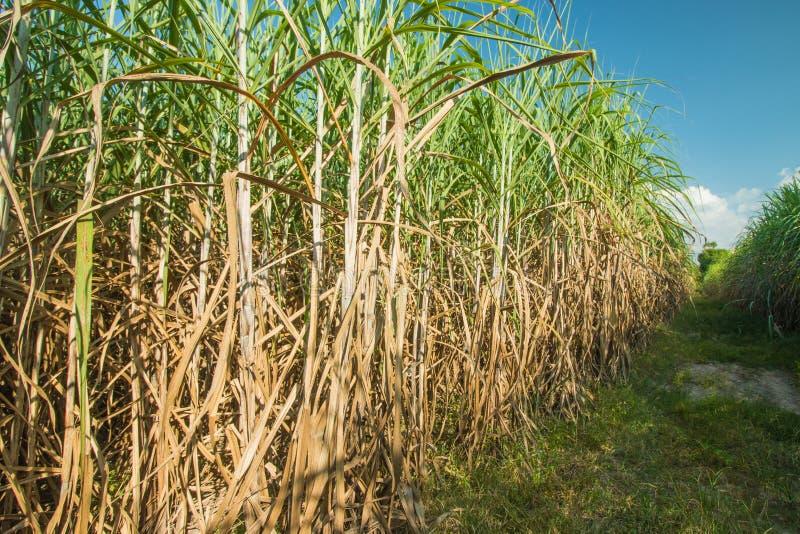 sugarcane immagini stock libere da diritti