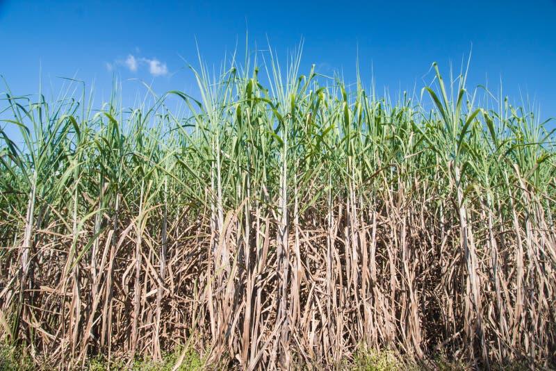 sugarcane fotografia stock libera da diritti