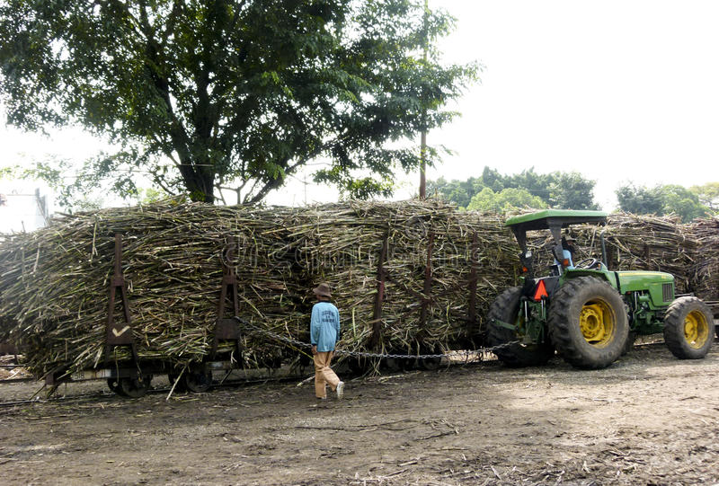 sugarcane imagenes de archivo