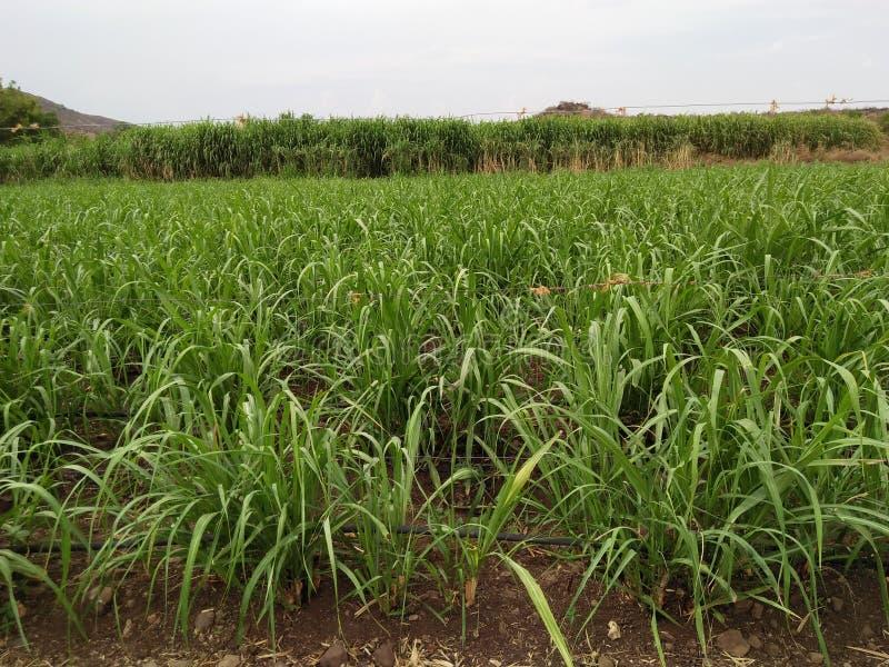 sugarcane fotos de stock royalty free