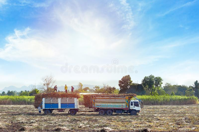 Sugarcane Agriculture royalty free stock photography