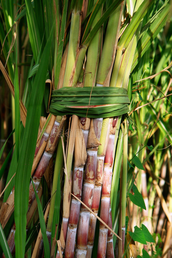 Sugarcane Bunch. A bunch of sugarcane tied with leaves in a field royalty free stock photos
