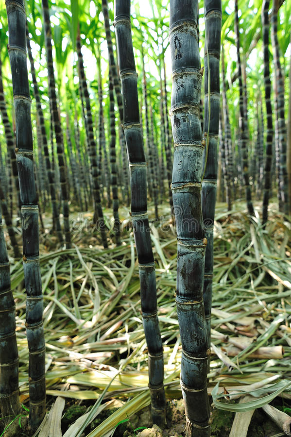 Sugarcane crops. Black sugar cane plants in field royalty free stock photography