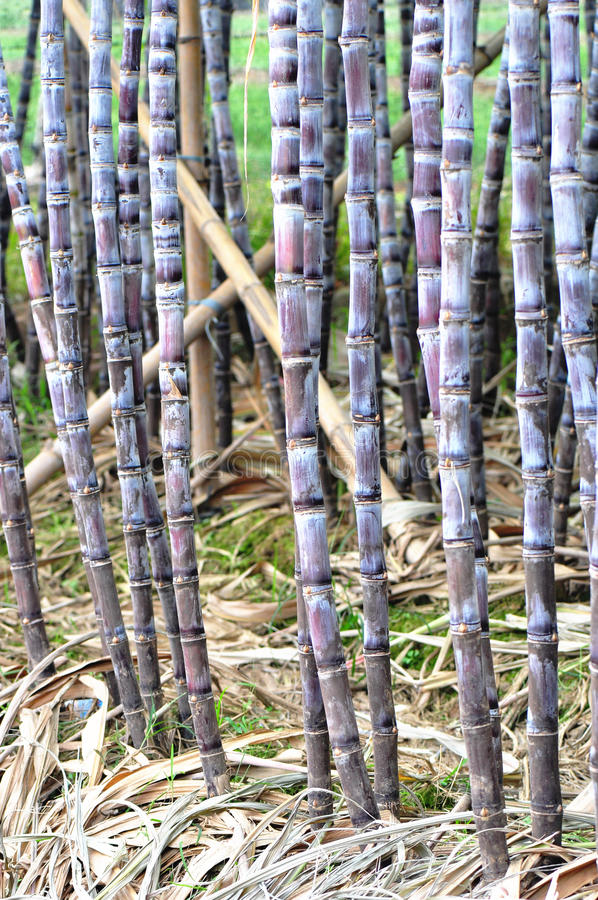 Sugarcane cultivate. With bamboo poles stock photo