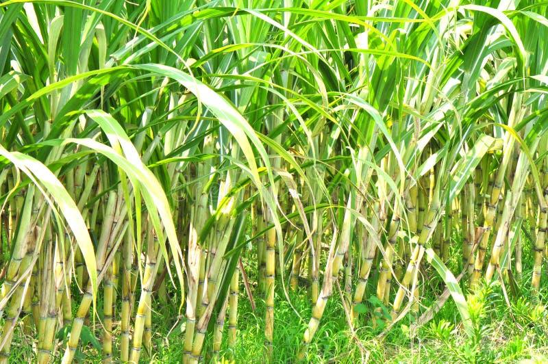 Sugarcane estate stock photo