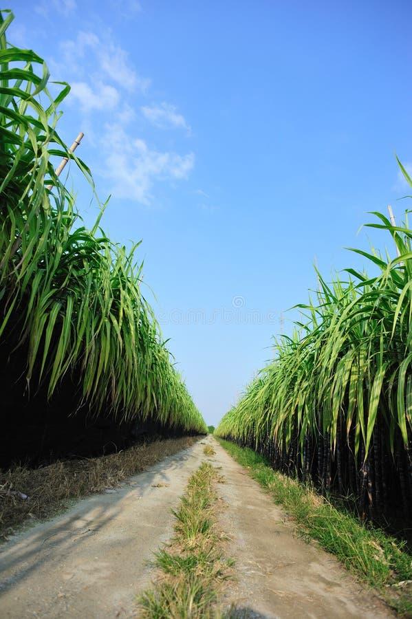 Sugarcane farm royalty free stock photo
