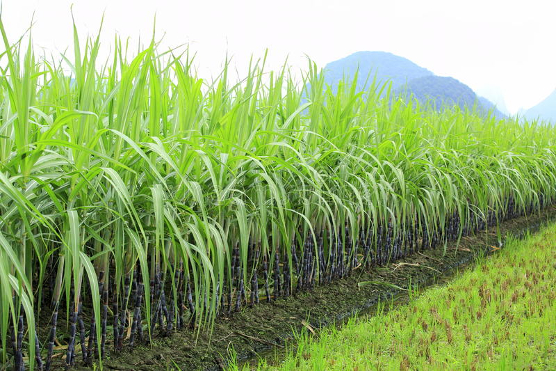 Sugarcane farm royalty free stock photos