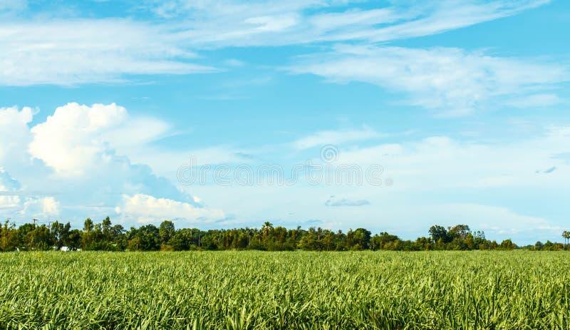 Sugarcane farm. Sugarcane plants grow in field royalty free stock photos