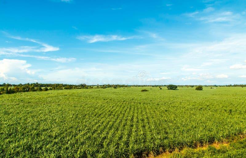 Sugarcane farm. Sugarcane plants grow in field stock photos