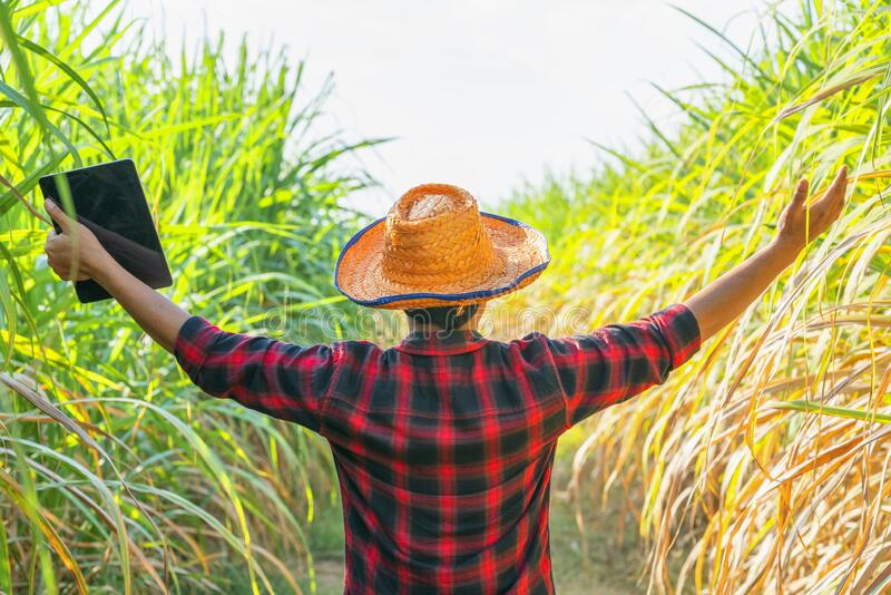 Farmers walk to inspect sugarcane trees on the farm stock image