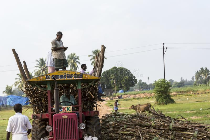 Sugarcane farmers are farmers who rely on the diligence of livelihood. A lot of sugar cane Enough to yield a living. stock photography